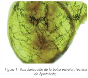 cirugñia reconstructiva-cogajo escrotal BAES